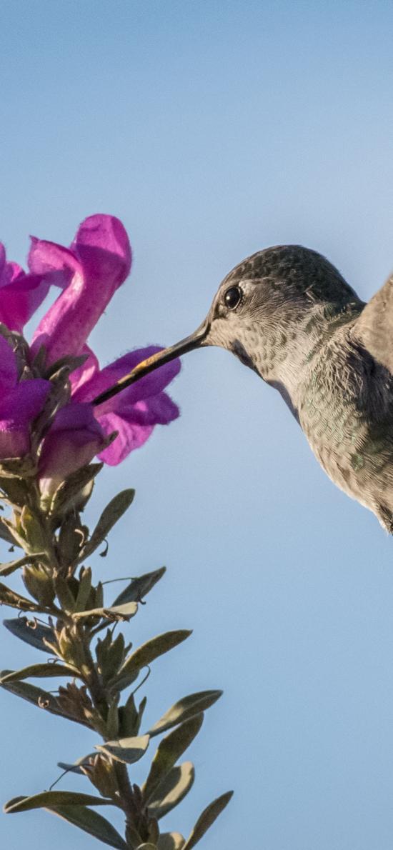 鸟类 袖珍 蜂鸟 采蜜