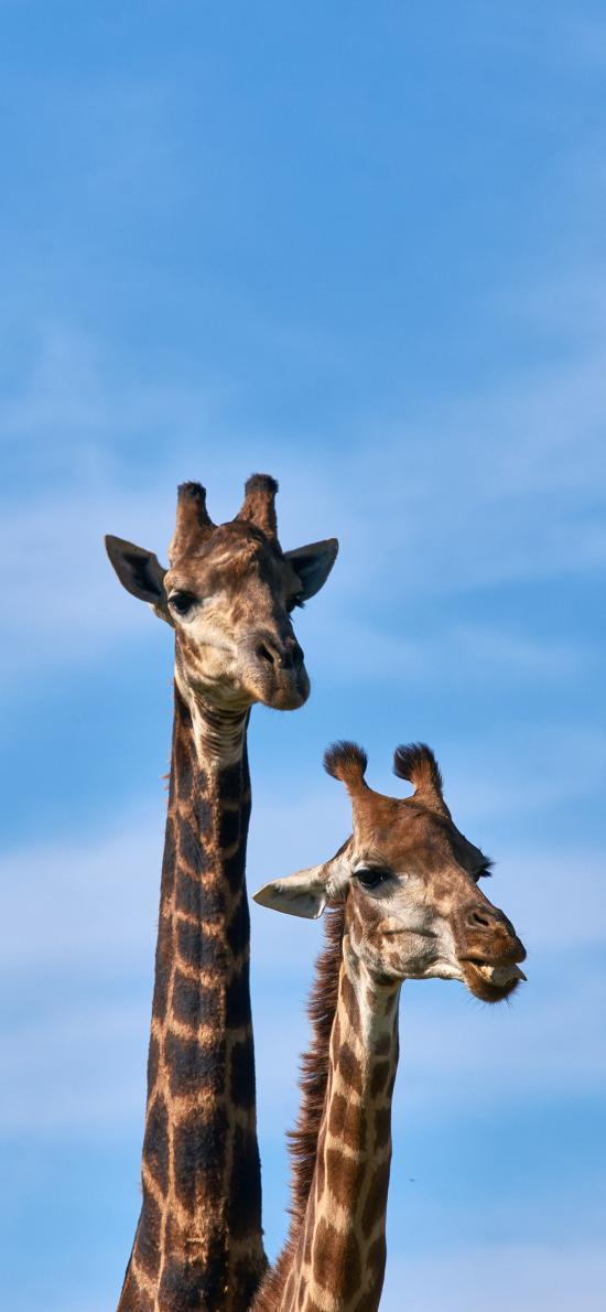 长颈鹿 脖子 天空 户外
