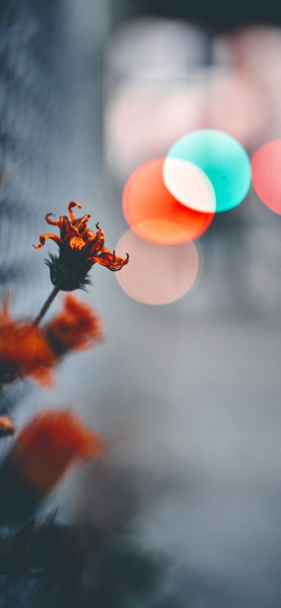 鲜花 橙色 凋谢 特写