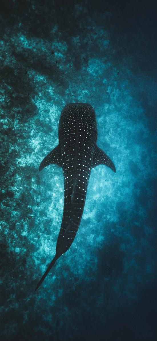 鲸鲨 斑点 海洋 大洋性鱼类