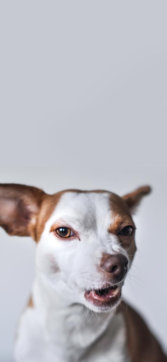 狗 宠物 挑衅 表情 犬类