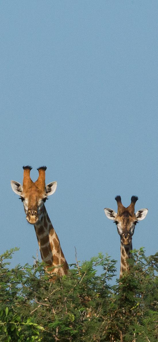 长颈鹿 树枝 头部