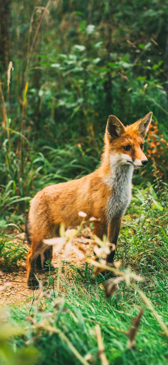 狐狸 野外 草丛 皮毛