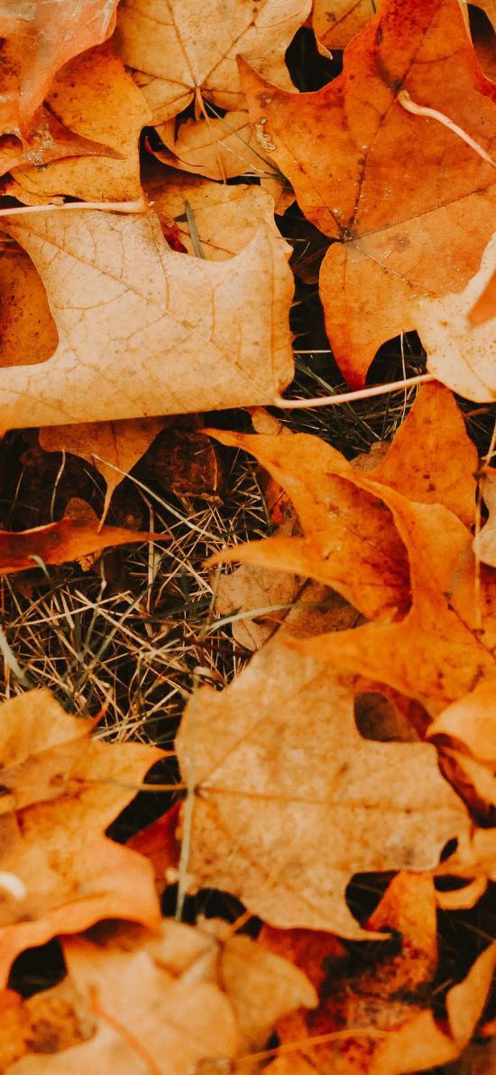 枫叶 落叶 枯黄 季节 秋