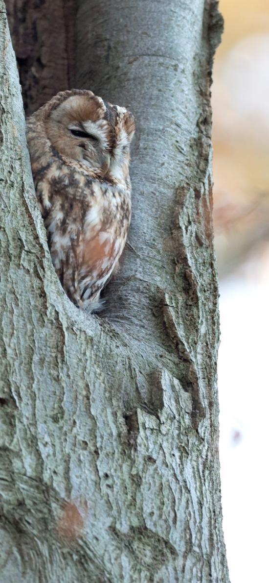 树木 树洞 飞鸟 猫头鹰