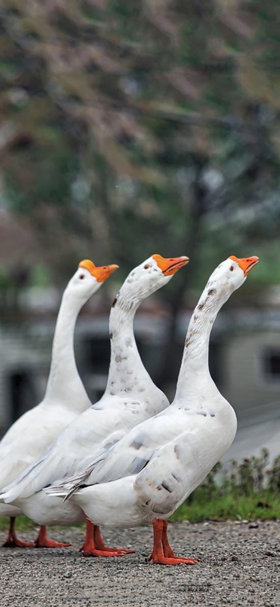 鹅 家禽 排列 翅膀 户外