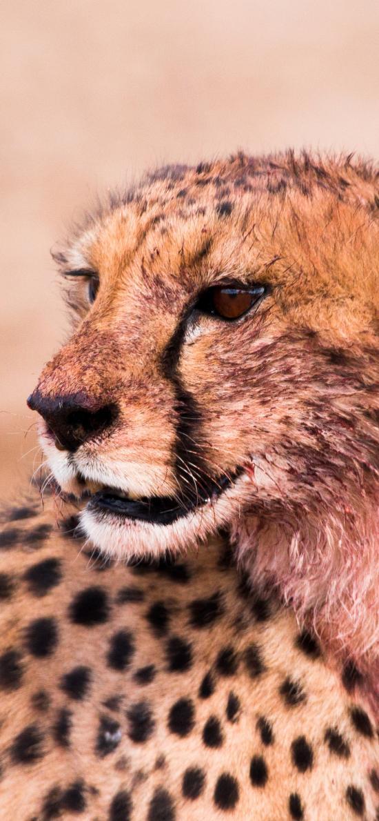 豹 猎豹 凶猛 豹纹 皮毛