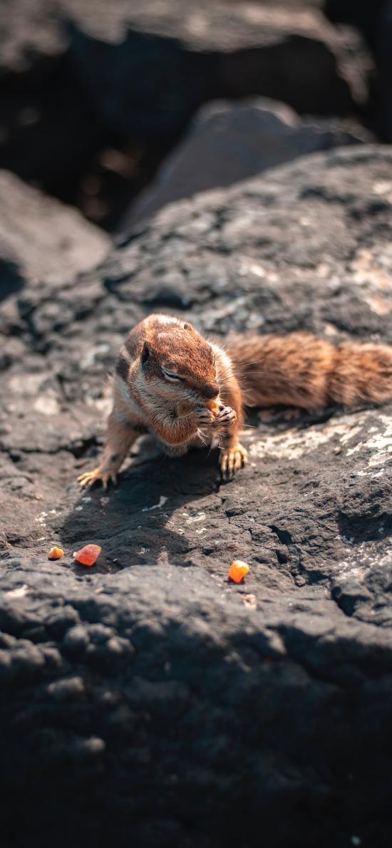松鼠 岩石 糖果 皮毛 觅食