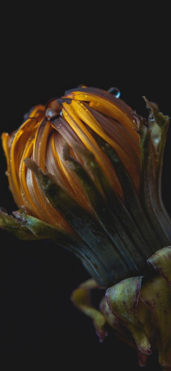 菊花 花朵 花苞 含苞待放