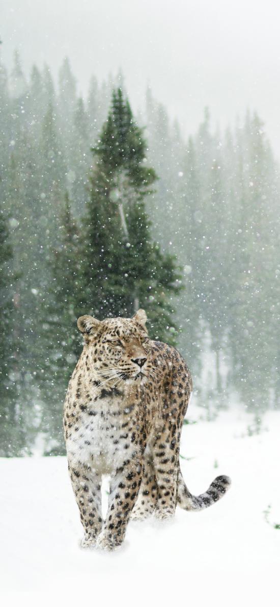 豹 雪地 猛兽 凶猛