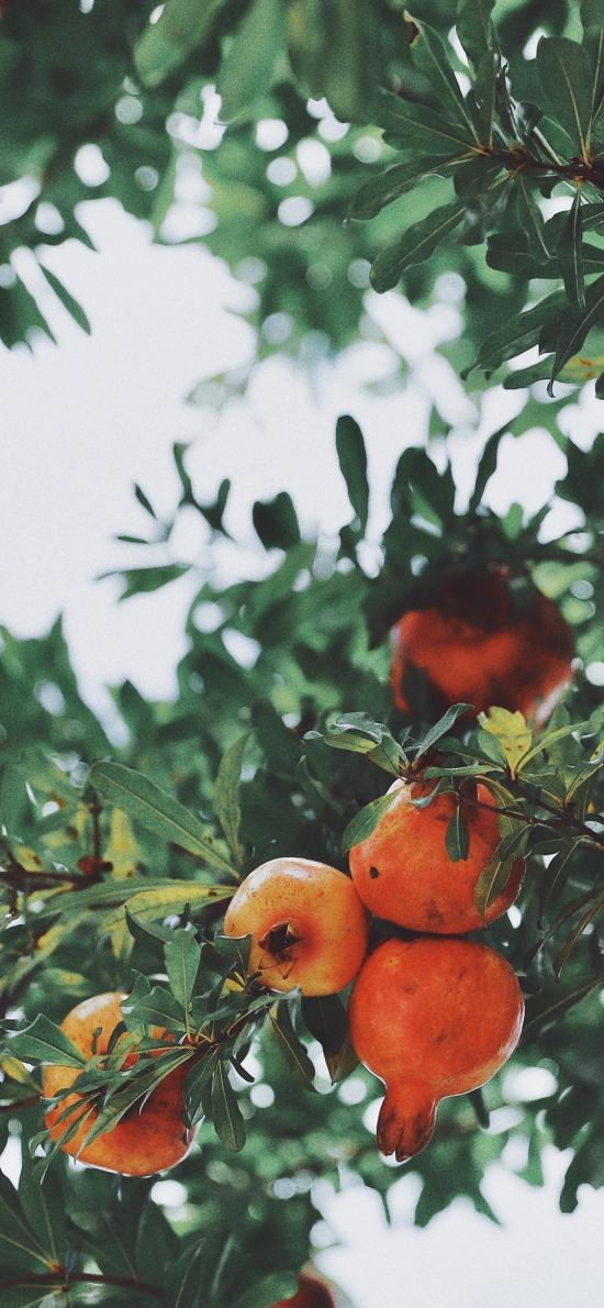 石榴 挂果 果实 枝叶