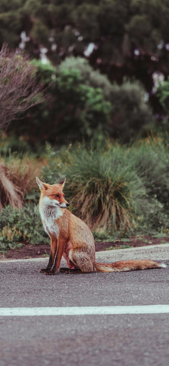 狐狸 皮毛 道路 户外