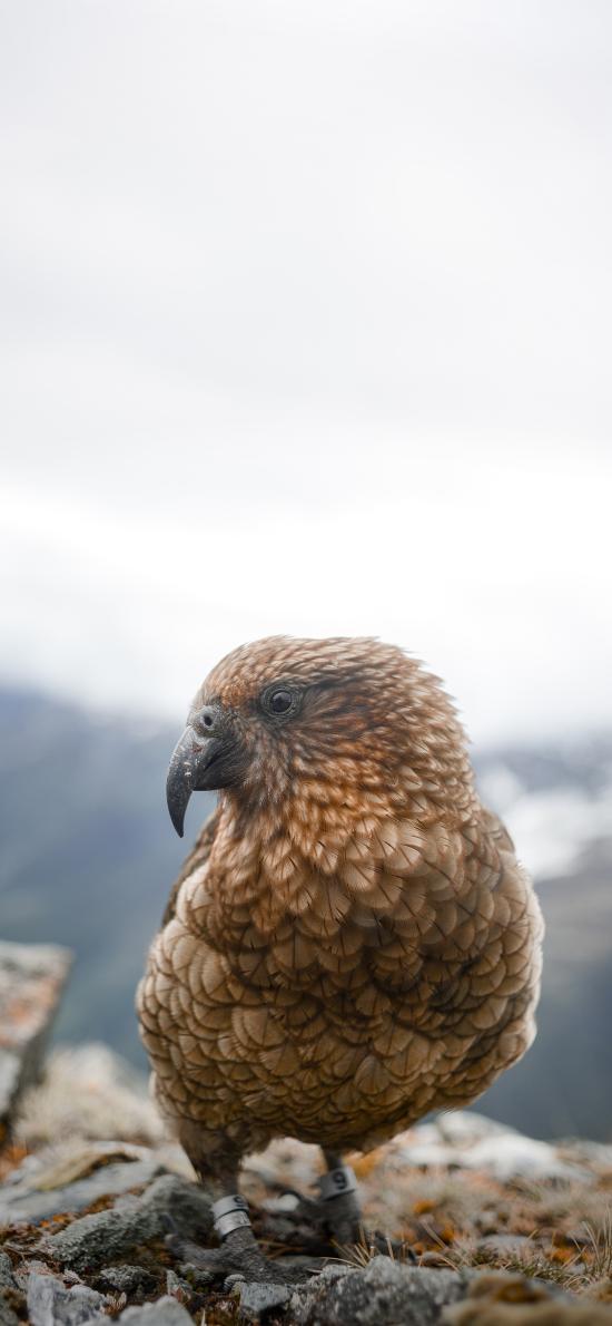 鸟类 羽毛 饲养 钢环