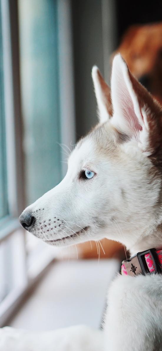 哈士奇 宠物 皮毛 犬类 狗