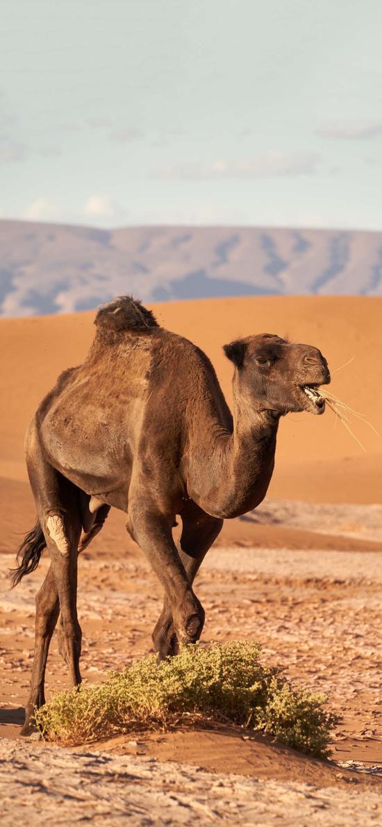 沙漠 骆驼 食草 沙漠之舟 代步
