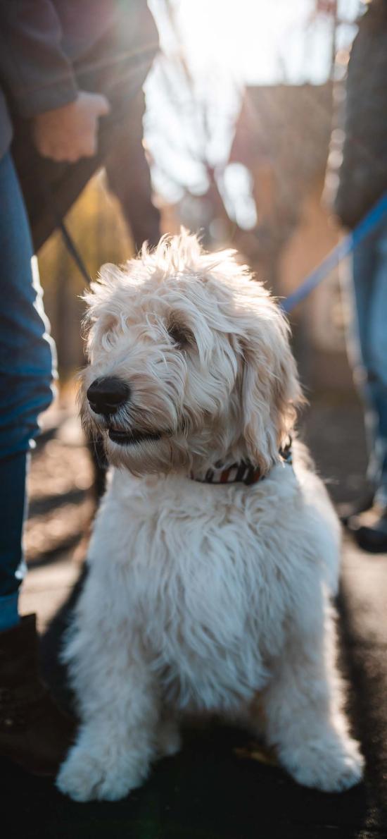 宠物狗 白色 汪星人 可爱