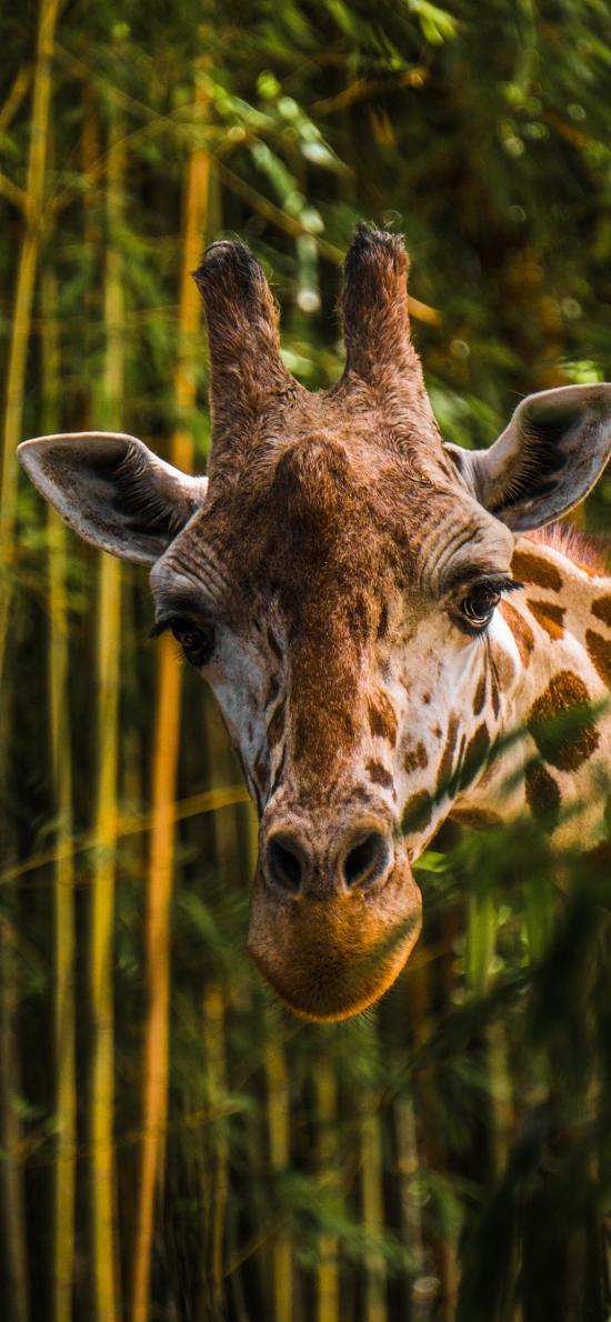 长颈鹿 竹子 头部