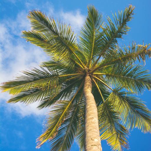 椰树 蓝天白云 生长