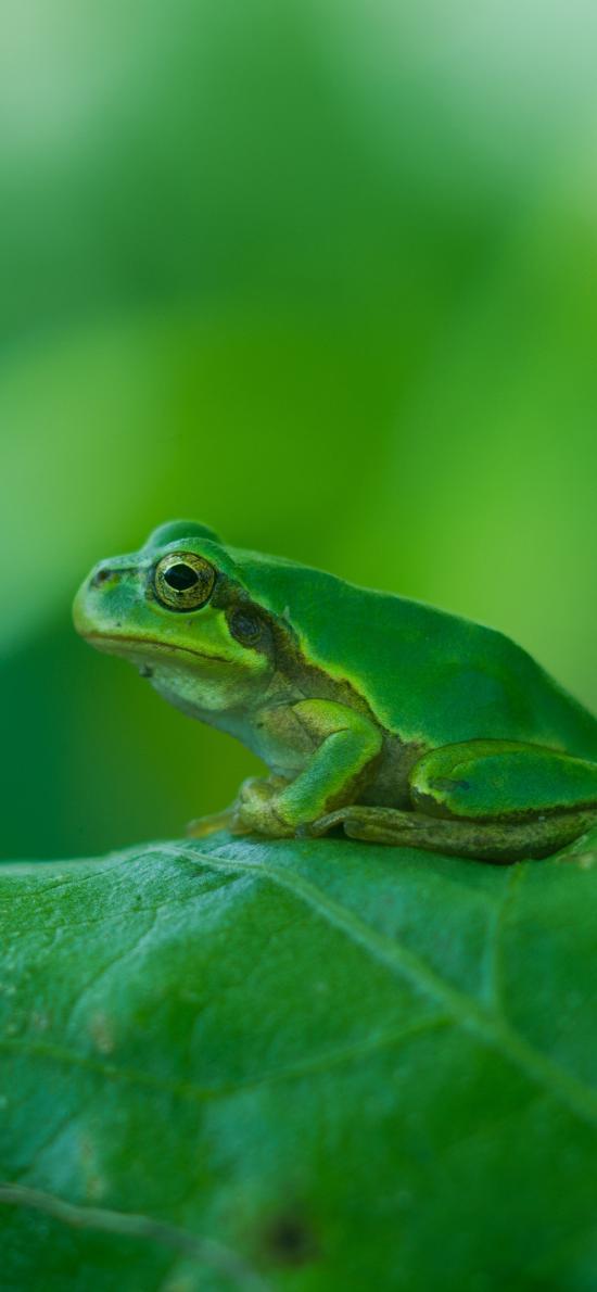 青蛙 树蛙 绿色 两栖 叶子