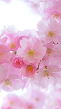 樱花 鲜花 粉色 枝头 浪漫