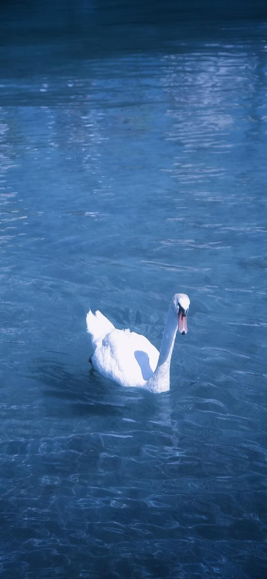 天鹅 蓝色 湖水 翅膀