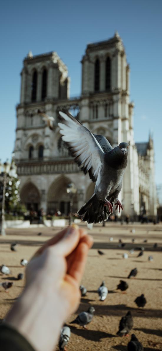 广场 鸽子 和平鸽 喂食