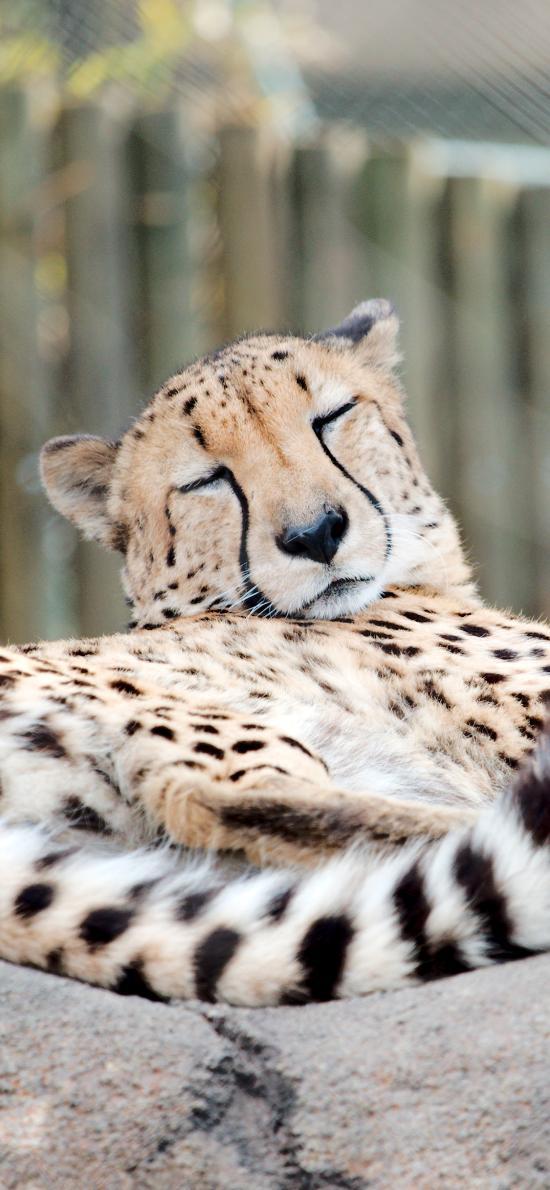 动物园 猎豹 狩猎 非洲 食肉