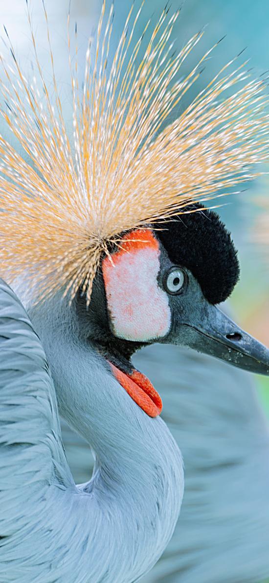 冠鹤 鸟 非洲物种 羽毛