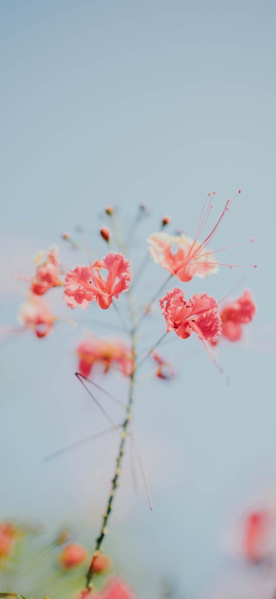 鲜花 地狱之花 曼陀罗花 红色
