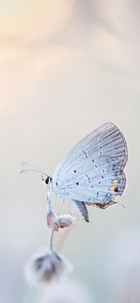 飞蛾 昆虫 灰白