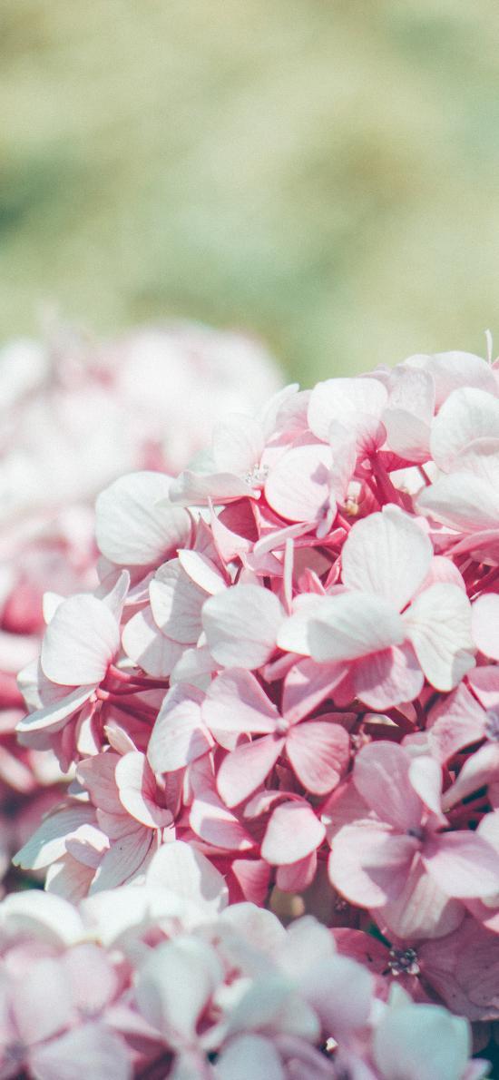鲜花 绣球花 粉色 清新