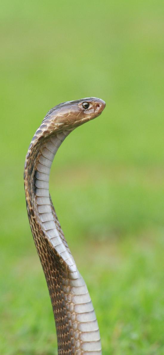 眼镜蛇 爬行 冷血 草地