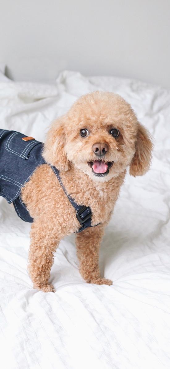 泰迪 宠物 贵宾 犬类