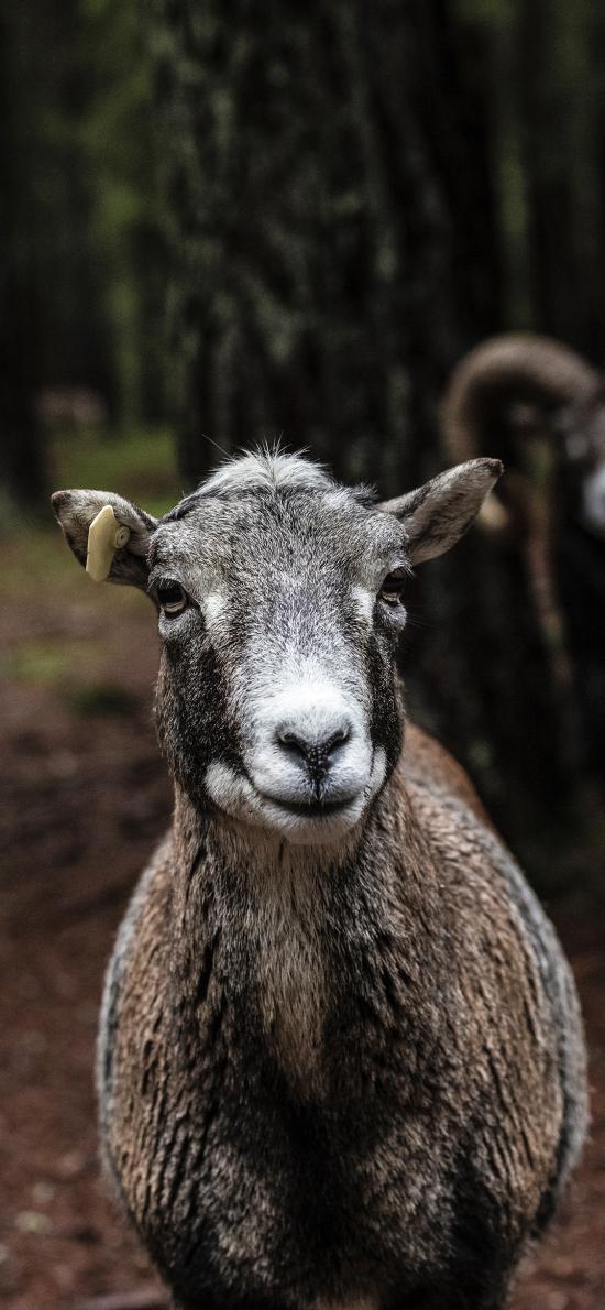 羊 幼仔 饲养 羔羊