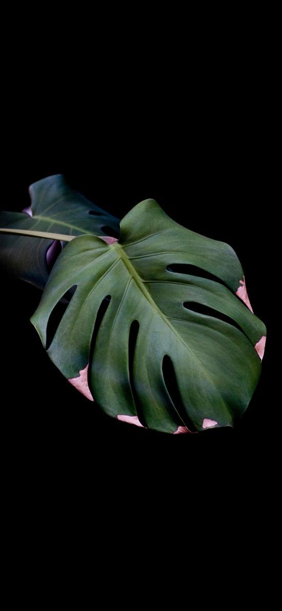 龟背竹 绿植 叶子 枯萎