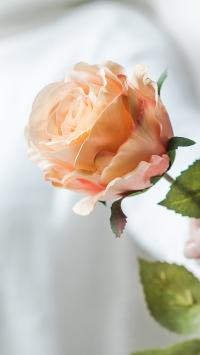 玫瑰 鲜花 枝叶