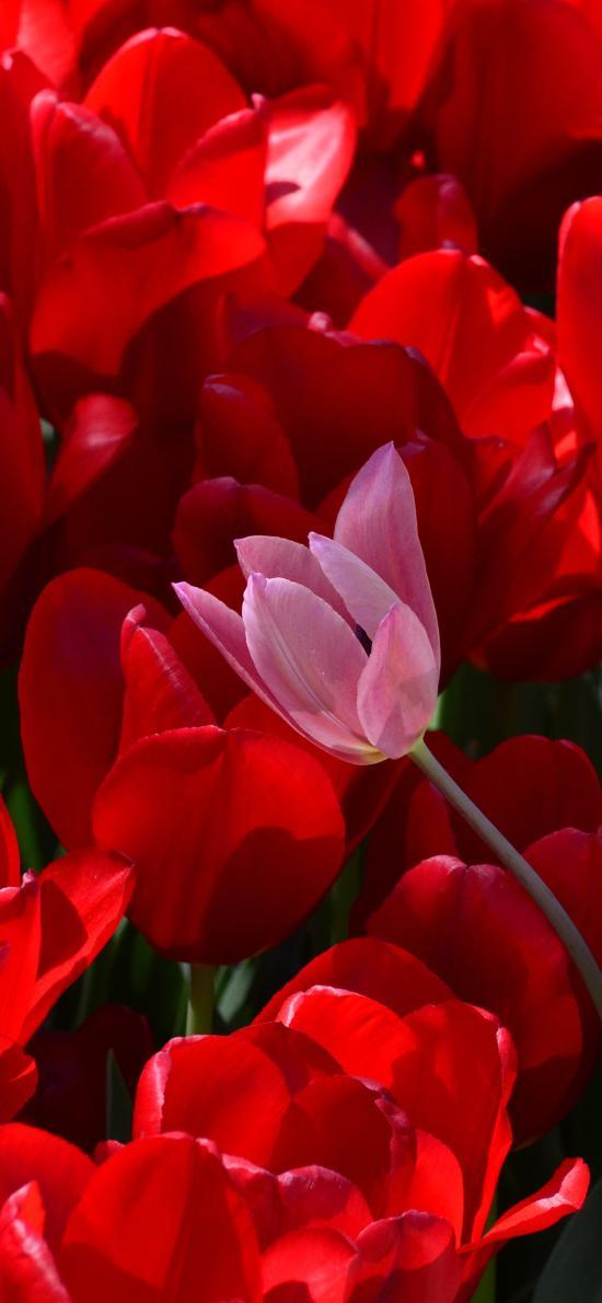 郁金香 鲜花 花海 红色