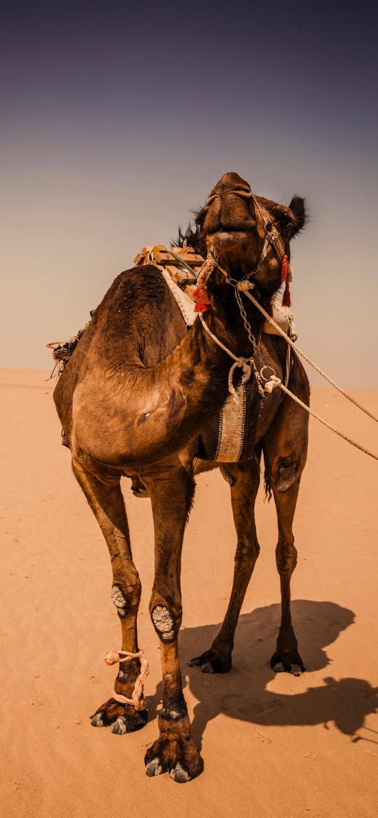 骆驼 沙漠 干旱