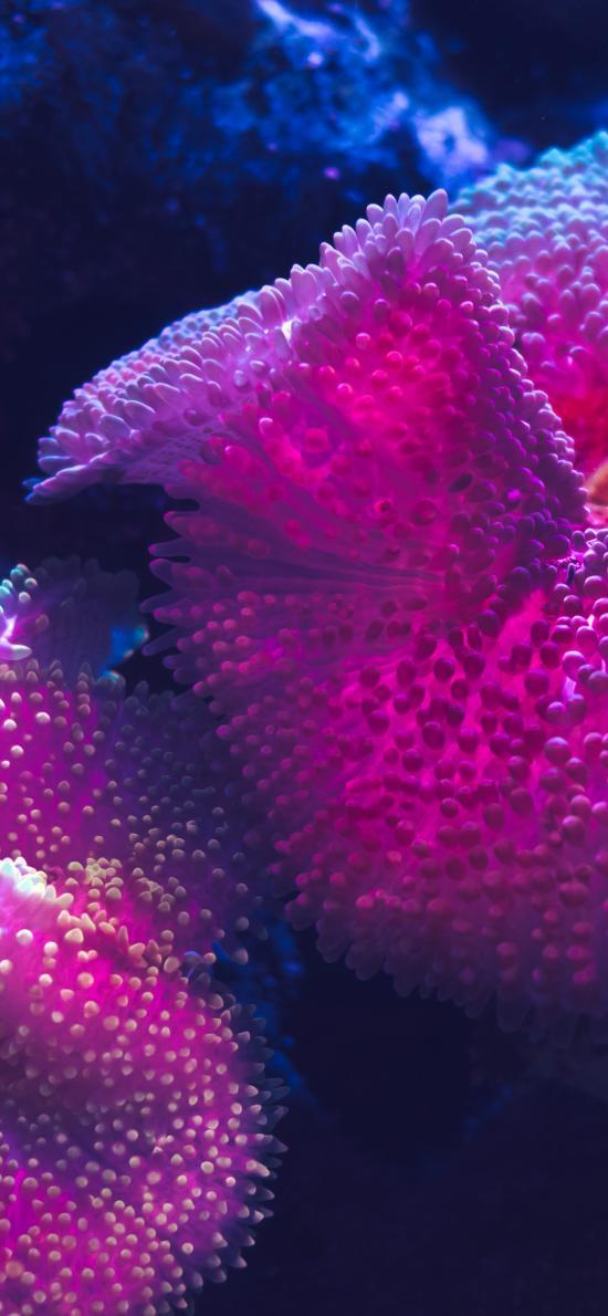 珊瑚 海洋生物 柔软 紫色