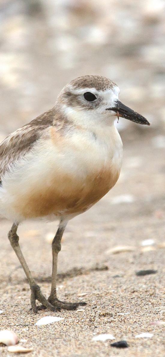 小鸟 沙滩 鸟类 飞鸟  贝壳