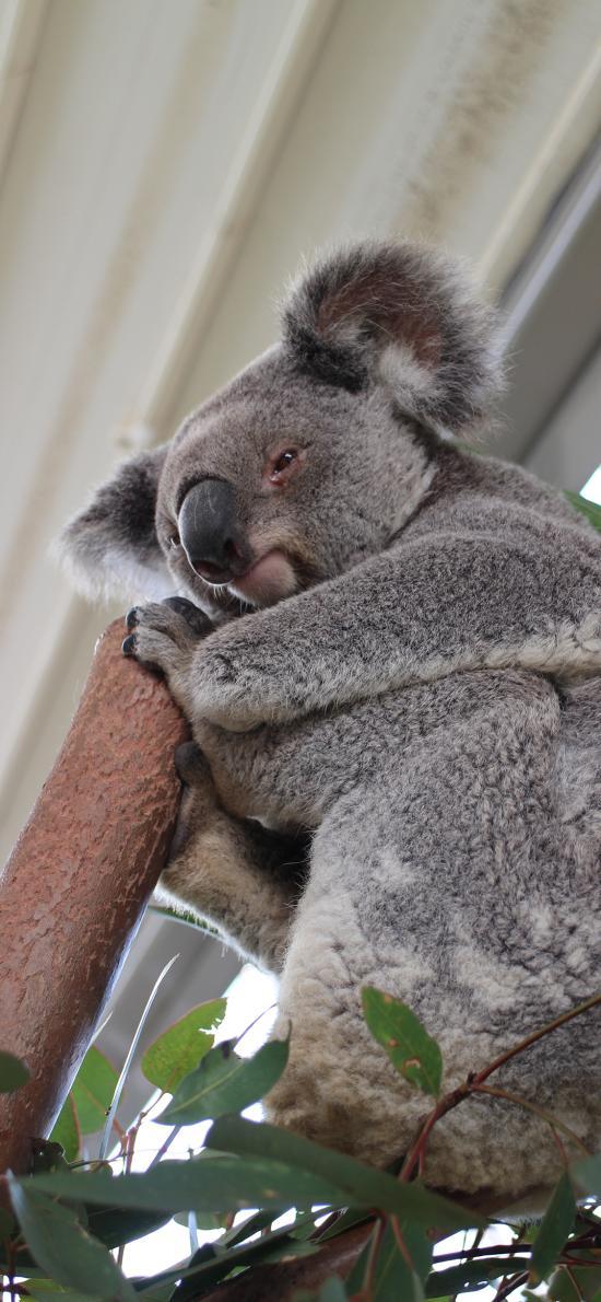 考拉 树袋熊 澳洲 国宝