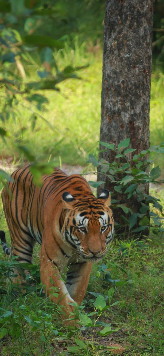 老虎 树林 林中之王 猛兽