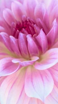 菊花 鲜花 粉色 花瓣