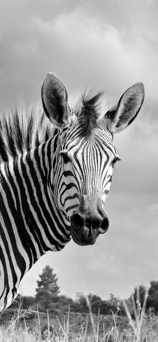 斑马 黑白 草原 条纹