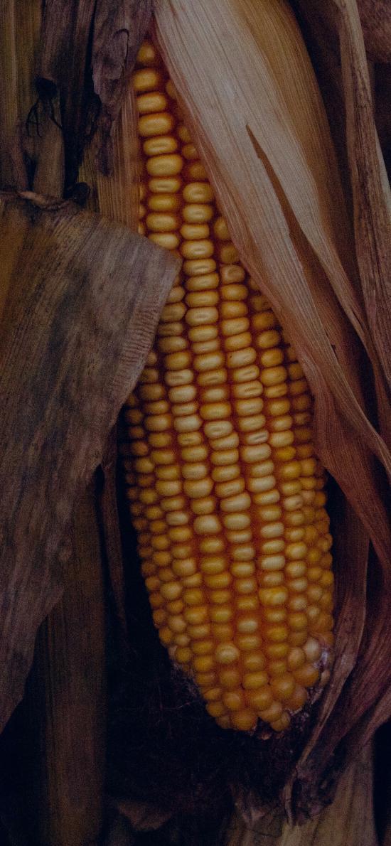 玉米 粮食 桔梗