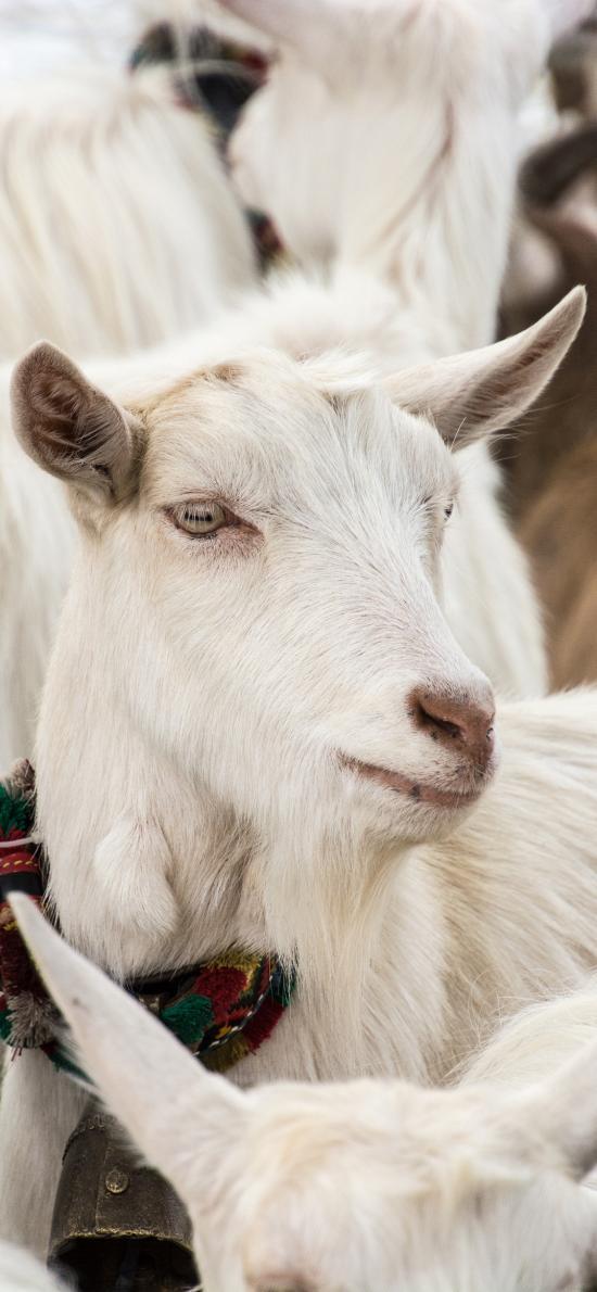 山羊 群居 羊毛 食草