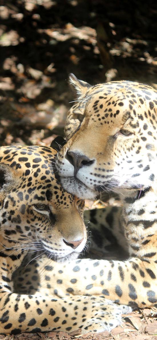 豹子 凶猛 猛兽 斑纹