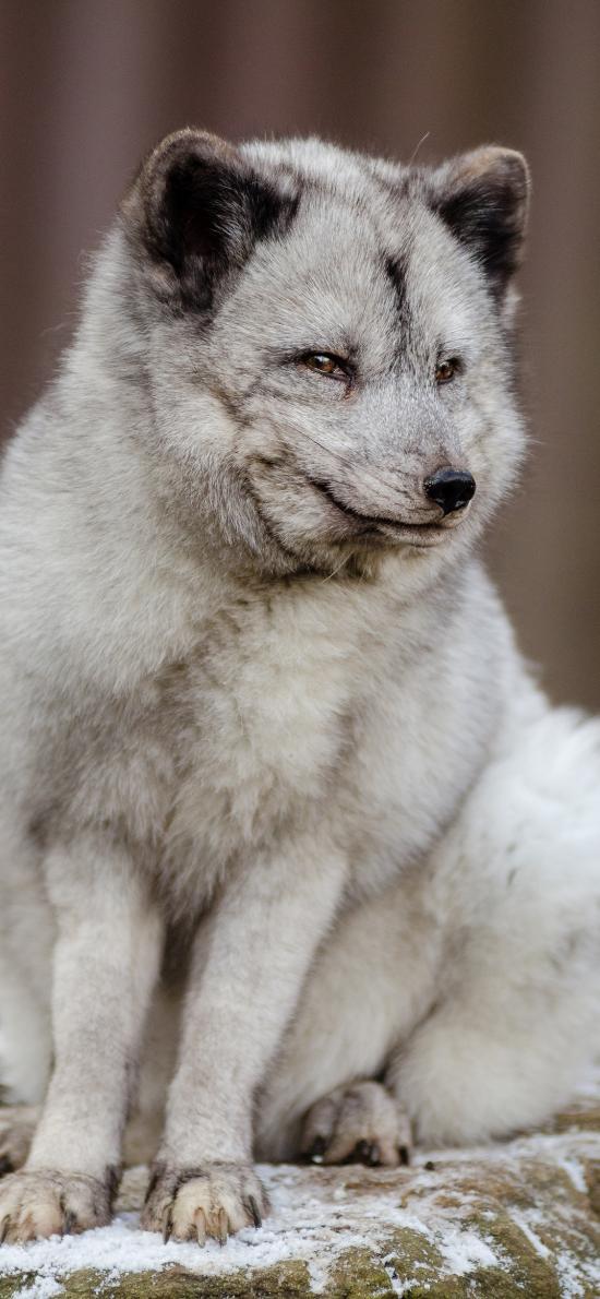 狐狸 皮毛 狡猾