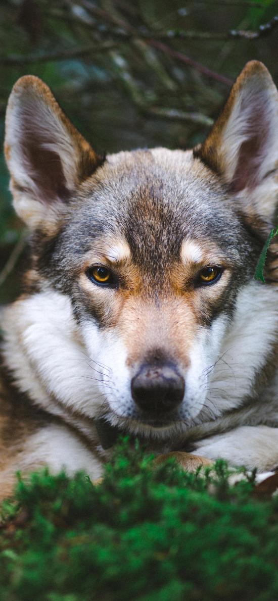 狼犬 宠物 户外 枝叶