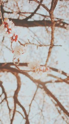 樱花 鲜花 枝头 盛开 粉色 唯美